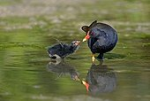 Common Moorhen feeding young in water  France