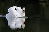 Swan swimming and its reflection France