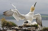 Gannet and chick on the cliffs of Bass RockUK