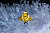 Jeune Poisson-clown à 3 bandes dans une Anémone de mer
