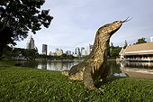 Common Water Monitor on grass Lumpini Park in Bangkok ; Unusual, monitor lizards in the city center of Bangkok where they live happily in Lumpini Park. The authorities are concerned about the excess of lizards in the central park of Bangkok. They are becoming more numerous, about 400. The mayor of Bangkok 120 lizards captured in April to reduce the number. The lizards are a protected species, the specimens are taken to the Bureau of Wildlife north of Bangkok, then to the park Kha Kaeng Huave in the center of the country or they can live out of town