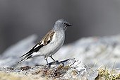 White-winged Snowfinch on a rock Switzerland Valais Alps