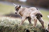 Domestic goat (Capra hircus, Capra aegagrus hircus), kid climbing up a hay bale