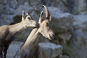 Female Alpine Ibex and young Swiss Alps