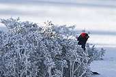 Male black grouse in snowy lek mating area Swiss Alps