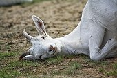 Domestic Goat (Capra hircus aegagrus), white German premium goat, juvenile, Westruper Heide, Heathland Westrup, Haltern, North Rhine-Westphalia, Germany, Europe