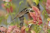 Scale-throated Hermit gathering nectar in flight Brazil