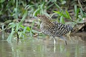 Rufescent Tiger Heron on the lookout in a swamp Brazil