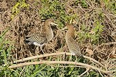 Immature Rufescent Tiger Herons on a branch Brazil