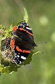 Red admiral gathering nectar on a cabbage Thistle Germany