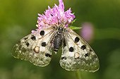 Apollo resting on a Scabious in the Ecrins France