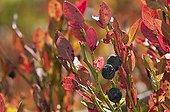 Berries of Whortleberry Bayerischer Wald Germany