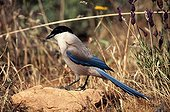 Azured winged Magpie near french lavender Spain