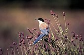 Azured winged Magpie on french lavenders Spain