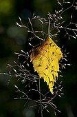 Birch dead leaf on a grass Czech Republic