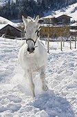 Lipizzan horse on winterly paddock, Achenkirch, Tyrol, Austria