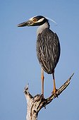 Yellow-crowned Night-Heron (Nyctanassa violacea), adult perched, Willacy County, Rio Grande Valley, South Texas, USA