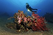 Coral block, diver, different kinds of sponges, corals, fish, feather stars, mini reef, patch, sandy ground, Bali, island, Lesser Sunda Islands, Bali Sea, Indonesia, Indian Ocean, Asia