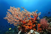 Coral reef with Soft Corals (Octocorallia), Sea-squirts (Ascidiae), Sponges (Polyfera), multi-coloured Black Crinoid, Sea Lily or Feather-star (Oxycomanthus bennetti), a school of Surgeon Fish (Acanthuridae) and Longsnout Butterflyfish (Forcipiger longirostris), Selayar Island, West coast, South Sulawesi, Indonesia, Java Sea, Indian Ocean