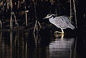 Yellow-crowned Night-Heron (Nyctanassa violacea), adult walking, Ding Darling National Wildlife Refuge, Sanibel Island, Florida, USA