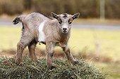 Domestic Goat (Capra hircus, Capra hircus aegagrus), kid climbing a hay bales