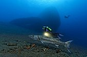 Great Barracuda (Sphyraena barracuda) and scuba diver, in front of wreck of the Liberty, Tulamben, Bali, Indonesia, Indian Ocean, Asia