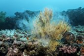 Rocky reef with yellow polyps of Black Coral (Anthipathes galapagensis) and fish spawning, Cousin Rock, UNESCO World Heritage Site, Galapagos archipelago, Ecuador, Pacific Ocean