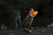 Red fox cubs resting in front of their burrow in Bavaria