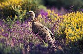 Eurasian Griffon Vulture in the flowered scrub Spain