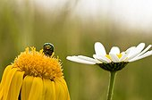 Beetle on an Arnica and oxeyedaisy Vosges France
