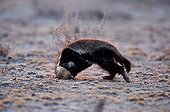 Ratel digging in the ground Etosha National Park Namibia