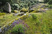 Rocks and french lavenders in the dehesa Spain  ; The dehesa is a mediterranean forest ecosystem.
