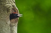 Young Black Woodpecker calling his parents in Bavaria