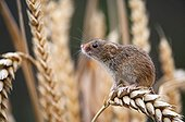 Harvest mouse sitting on an ear of corn in Alsace France