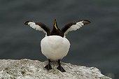 Razorbill (Alca torda), Lunga Island, Treshnish Isles, Scotland, UK, Europe