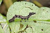 Caterpillar of Noctuidae, Catocala spec.