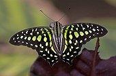 Butterfly, Graphium agamemnun, Thailand,