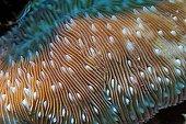 Mushroom Coral (Fungia sp ; Mushroom Coral (Fungia sp.), Vakarufalhi, Ari atoll, Indian Ocean, Maldives