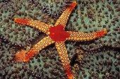 Sea Star (Fromia monilis), Indian Ocean