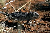Namaqua Chameleon (Chamaeleo namaquensis), Tok Tokkie Trail, NamibRand Nature Reserve, Namibia, Africa