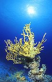 Fire coral, Millepora tenella, Coralblock, Egypt, Red Sea,