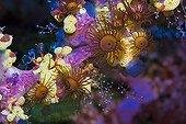 Encrusting Stick Anemones (Acrozoanthus) and Seasquirts, Indonesia, Asia