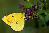 Clouded Yellow butterfly (Colias crocea) perched on a flower, Novigrad, Istria, Croatia, Europe
