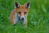 Red fox on the lookout in the grass Champagne France
