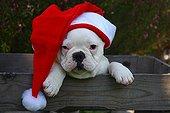 French Bulldog puppy wearing a Santa hats
