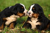 Bernese Mountain Dog puppies sitting in grass ; Age: 3 weeks