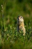 European Ground Squirrel or Souslik (Spermophilus citellus) standing, Illmitz, Burgenland, Austria, Europe