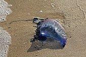 Atlantic Portuguese man o' war, Fuerteventura , Canary Islands