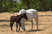 Lipizzan and foal (Equus przewalskii f ; Lipizzan and foal (Equus przewalskii f. caballus), Lipica stud ranch, Slovenia, Europe