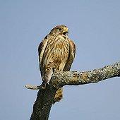 Common Kestrel (Falco tinnunculus) calling, with captured Common Vole (Microtus arvalis)